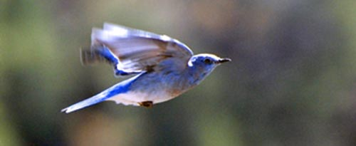 bluebird flying